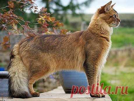 Сомалийский кот.