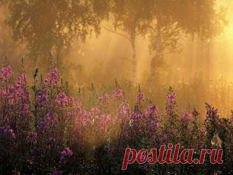 Иван-чай, Нижегородская область. Автор фото — Ирина Мартынюк: nat-geo.ru/photo/user/16514/