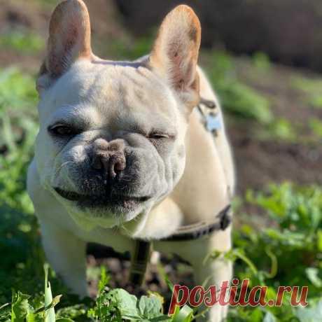 Бульдог снялся в популярном шоу и стал звездой социальных сетей Белый французский бульдог по кличке Брюли стал настоящей звездой, появившись в новом сезоне американского шоу «Queer Eye», посвященного преображениям. Собака принадлежит продюссеру программы, которая решила, что милаха станет отличным компаньоном для пяти других ведущих...