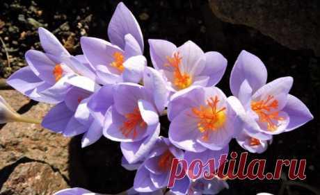 8 лучших осенних луковичных цветов. Какие луковичные цветут осенью? Список, описание, фото - Ботаничка.ru - Страница 3