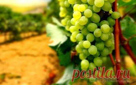 Как выбрать саженцы для винограда