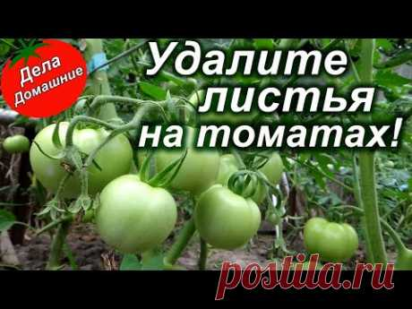 Удалите листья на томатах для большого урожая