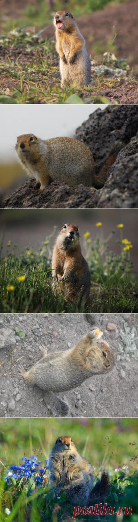 Смотреть изображения евражек | Зооляндия