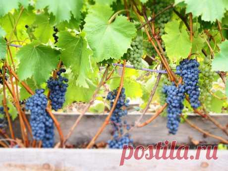 Технические сорта винограда, которые рекомендую посадить на участке | Самарский виноград | Яндекс Дзен