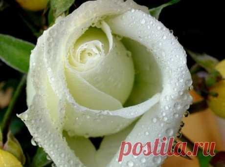 После дождя эти розы фото