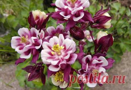 Цветок аквилегия многолетняя: посадка семенами и уход в открытом грунте