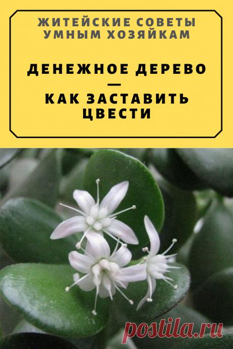 Денежное дерево — как заставить цвести | Житейские Советы