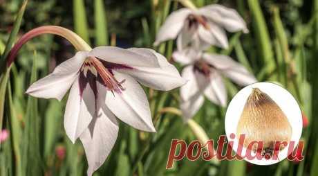 Ацидантера, или душистый гладиолус - цветок, который по красоте не уступит гладиолусу и лилиям на Supersadovnik.ru