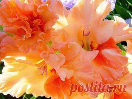 Уход. Как любой мужчина, гладиолус любит, чтобы его окружали заботой и вниманием.На доброту и ласку он отвечает сочными красками и пышным цветением.