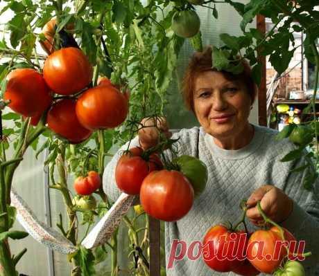 Каждый год собираю по 16 кг томатов с одного куста благодаря одной подкормке. Рецепт очень простой   На даче с Ириной   Яндекс Дзен