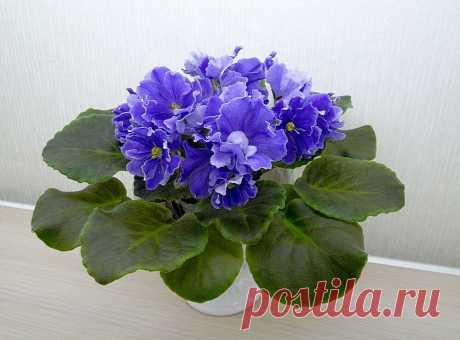 Чем подкормить Фиалку весной для пышного цветения | ЦВЕТЫ НА ОКНЕ | Яндекс Дзен