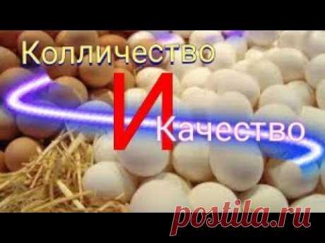 как повысить ЯЙЦЕНОСКОСТЬ и КАЧЕСТВО яиц? куры содержание и уход видео. здоровая птица.