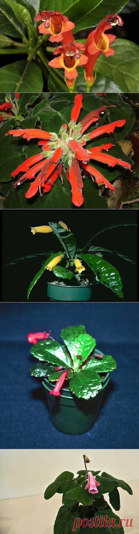 Геснерия - виды, уход, размножение   GreenHome