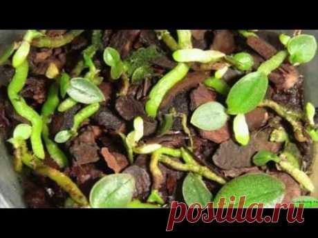 РАЗМНОЖЕНИЕ ОРХИДЕИ СЕМЕНАМИ 🌺 КАК ВЫРАСТИТЬ #ОРХИДЕИ_ИЗ_СЕМЯН #orchids #110 #oldenburg_ru - YouTube