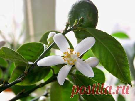 Комнатные растения | Домашние цветы    КАК ВЫРАСТИТЬ ЛИМОННОЕ ДЕРЕВО ИЗ КОСТОЧКИ И УХАЖИВАТЬ ЗА НИМ