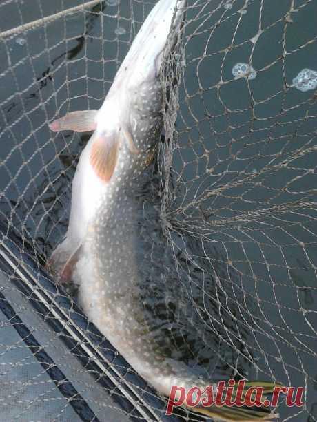 Ловля щуки на спиннинг | журнал Рыбалка GROUP | Яндекс Дзен