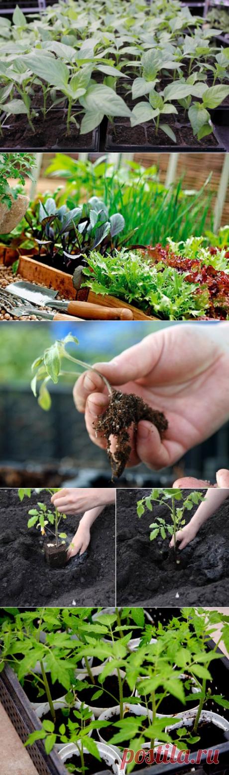 Советы Павла Траннуа как выращивать рассаду — Огород без хлопот