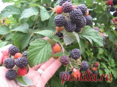 Нюансы выращивания чёрной малины Кумберленд