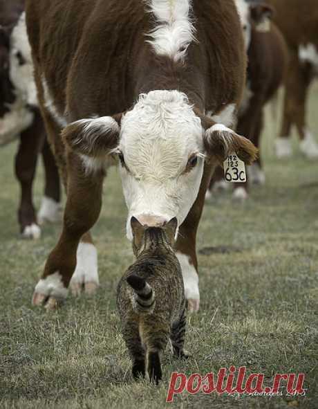 "Cattle Cat   Salander takes her ""ranch cat"" duties very seri…   Flickr"
