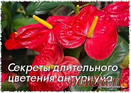 Секреты длительного цветения антуриума  Правильно подобранный субстрат Антуриум относят к эпифитным растениям, имеет воздушные корни. Если вы его посадите в обычный универсальный грунт, то вы совершите ошибку, он перестанет цвести, и растение начнет увядать в результате гниения корней.  Субстрат для цветка нужно подобрать особый. Подойдет такой же субстрат как для орхидеи (сосновая кора, древесный уголь, опавшие листья). Предпочитает кислую среду, в природе произрастает на...