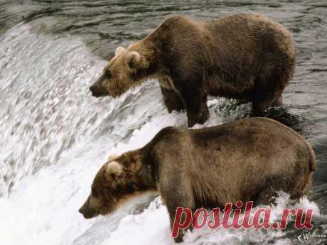 медведи у водопада
