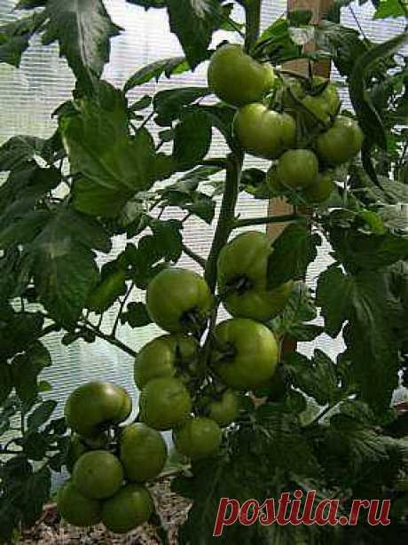 Выращивание томатов на двух и более корнях