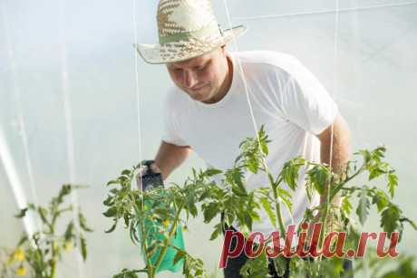 How to accelerate maturing of tomatoes \/ tomatoes \/ 7dach.ru