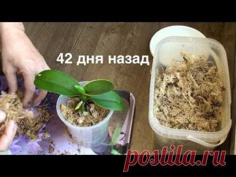 корни орхидеи нарастить ЛЕГКО за 2,5 месяца в мох + керамзит