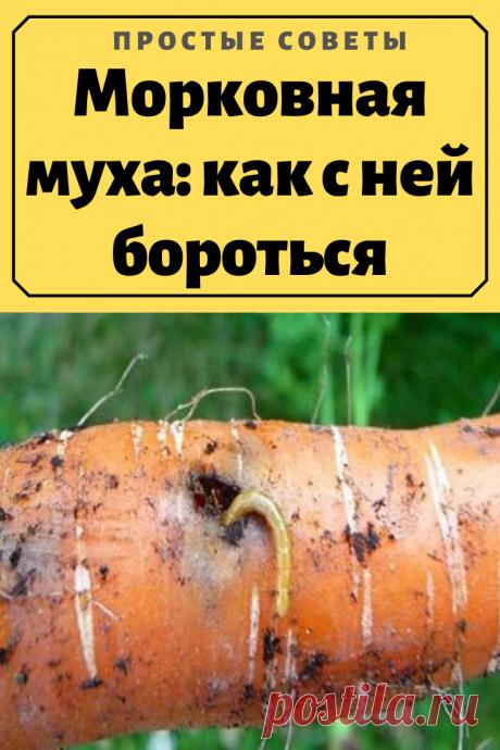 Морковная муха: как с ней бороться.Морковная муха – опасный вредитель. Некоторые жуки и бабочки подгрызают листья или плоды, но вредители, предпочитающие морковь, питаются всеми частями растения. Ещё один неприятный момент – зимовка насекомых внутри корнеплодов. Если личинки не успели окуклиться, они остаются внутри морковки, подготовленной к закладке на хранение.