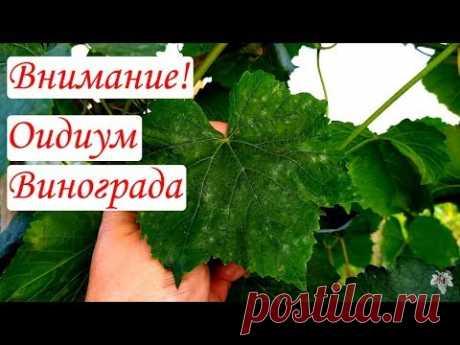 Внимание! Оидиум Винограда