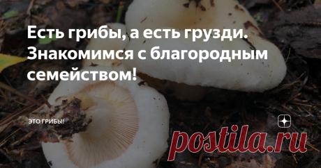 """Есть грибы, а есть грузди. Знакомимся с благородным семейством! В стародавние времена наши предки делили грибное царство строго пополам - на сами грибы (горбы, губы) и на грузди. Увы, к природе они относились донельзя прагматично и от идеалов нынешних """"зеленых"""" были космически далеки. С грибами-горбами всё понятно: выпуклые шляпки боровых и белых сами напрашиваются на такой эпитет. А грузди? Вариантов несколько, но самый очевидный - от """"груды"""". То есть, грудою растущие. Эт..."""