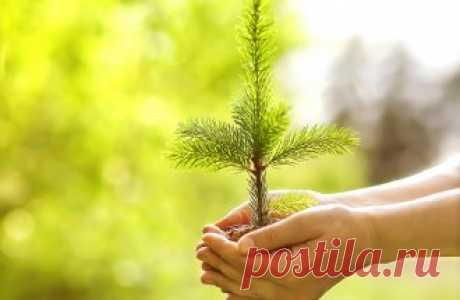 Зимнее черенкование хвойных растений – пошаговая инструкция