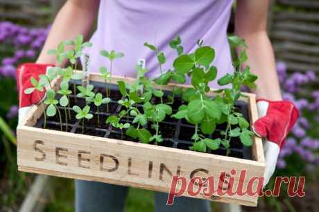 Весна идет: Основные правила выращивания рассады Правильно выращенная рассада — залог хорошего урожая на грядках или пышного цветения в саду
