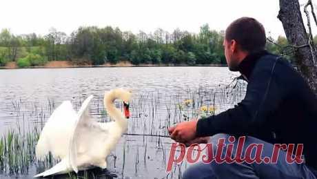 Шикарный белый лебедь! Удивительная красота, грациозность и шарм. Подружимся?