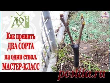ПРИВИВКА плодовых деревьев. Как привить ДВА СОРТА на ОДИН СТВОЛ. Мастер-класс - YouTube