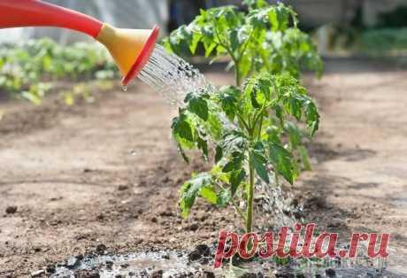 Как правильно нужно поливать рассаду томатов Томаты – культура очень распространенная, популярная и полезная. Нет ни одного дачника и огородника, который бы не занимался выращиванием томатов. Опыт выращивания этой овощной культуры говорит о том,...