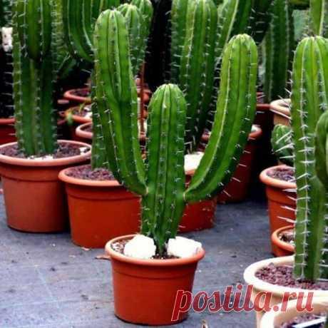Цереус перуанский и другие виды — описание кактуса с фото