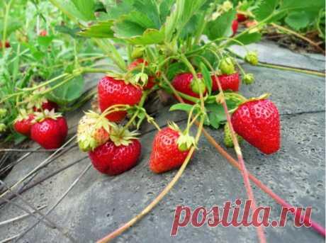 10 ОСОБЕННОСТЕЙ ВЫРАЩИВАНИЯ КЛУБНИКИ В ОТКРЫТОМ ГРУНТЕ 1. Выращивание клубники в открытом грунте вряд ли принесет огромные урожаи, но ягоды при таком методе выращивания всегда более вкусные и приятные. В любом случае, если все сделать правильно, вы сможете полакомиться клубникой летом и заготовить вкуснейшего варенья на долгую российскую зиму. 2. Вам нужно выбрать сорт, а точнее 3-4 сорта клубники. Выбирайте сорта с разным сроком созревания ягод, и вы сможете растянуть получение плодов на весь