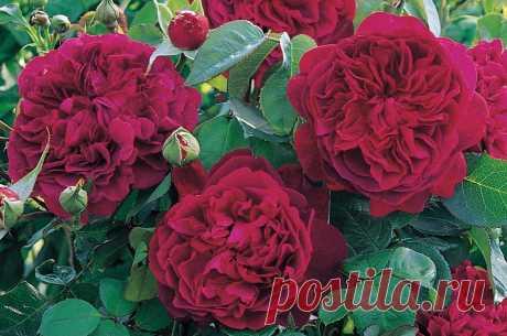 Великолепные сорта роз Дэвида Остина | MyWomanDay