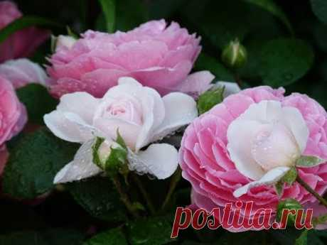 Секретный ингридиент для выращивания роз! Встреча в клубе цветоводов. часть 2