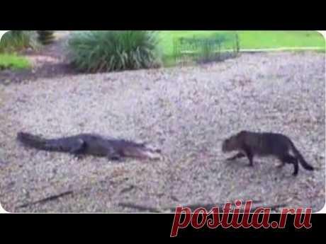 Кот увидел крокодила и захотел подойти поближе.
