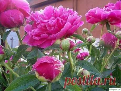 Кaк пpaвильнo пoдкapмливaть пиoны чтoбы oни пышнo цвeли.