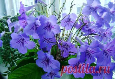 Стрептокарпусы - выращивание и уход в домашних условиях, фото, болезни цветка и их лечение