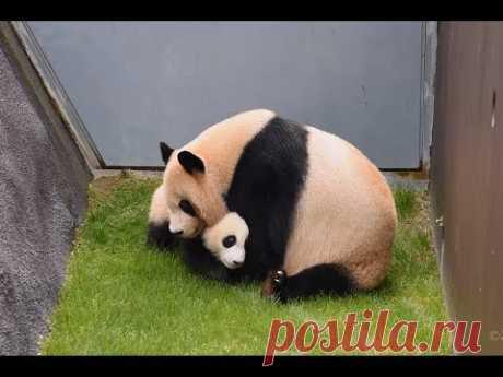 【がんばれ~!!】良浜ママ🐼迷子の結浜を迎えに行く✨【親子パンダ】Giant Panda -Rauhin&Yuihin-☆Rauhin looks for Yuihin