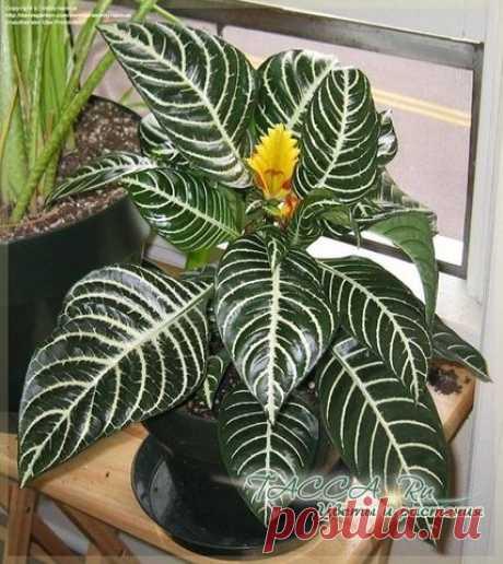 (+1) тема - Самые красивые комнатные растения с цветными листьями   САД НА ПОДОКОННИКЕ