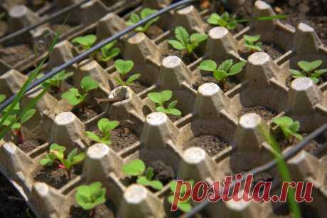 Интересный способ выращивания редиса в яичных кассетах  Выращивать редис можно и в яичных кассетах. Этот способ хорош тем, что он не требует мульчирования.Только полив!  Расскажем подробнее. В кассетах проделайте отверстия, срезав донышко. Затем вдавите …