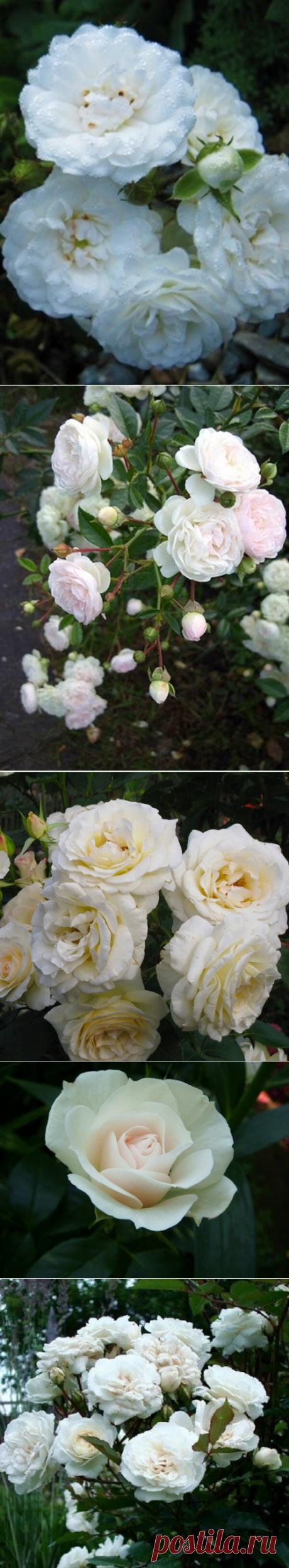 Белые розы - 5 лучших сортов для вашего сада   Fragoletta (Земляничка)   Яндекс Дзен