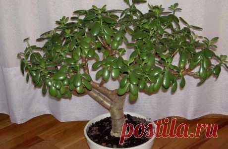 Цветок «Толстянка» — виды растения с фото и названиями