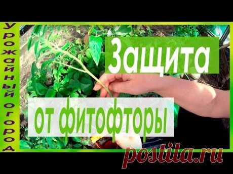 СУПЕР ЗАЩИТА ОТ ФИТОФТОРЫ!!!САМЫЕ ЛУЧШИЕ СРЕДСТВА! - YouTube
