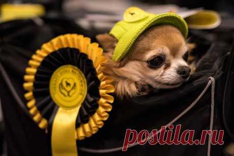 Crufts Dog Show 2018: как прошла крупнейшая в Европе выставка собак С 8 по 11 марта в английском городе Бирмингем проходила выставка собак Crufts Dog Show 2018, которая впервые была организована в 1891 году. В шоу приняли более 23 тысяч собак, которые прибыли в Англию, чтобы сразиться за почетные награди в различных номинациях, а также за звание «Лучший на выставке». Для любителей четвероногих друзей человека.